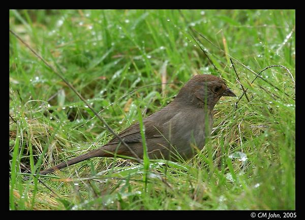 <H2><b>California Towhee</b></H2> <P ALIGN=LEFT>This California Towhee (<i>Pipilo crissalis</i>, Tohi de Californie) was observed at the Wilder Ranch State park.<P>