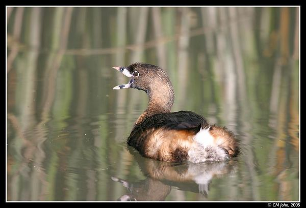 <br> <H2><b>Pied-Billed Grebe</b></H2> <P ALIGN=LEFT> The Pied-Billed Grebe (<i>Podilymbus podiceps</i>, Grèbe à bec bigarré, Bindentaucher) displayed here harbors breeding-season colors. Taken in winter at Neary Lagoon.<P> <H5>(Click on picture to enlarge)</H5>