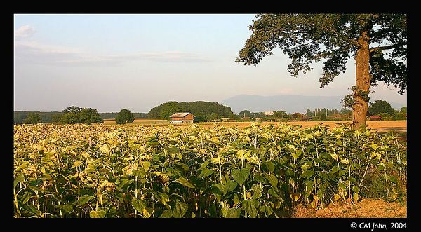 <H2><b>Sunflower field</b></H2> <P ALIGN=LEFT>The swiss plain in the region of Geneva. This plain was created by the accumulation of glacial sediment in this valley in the course of geologic time. Taken in fall.</P>