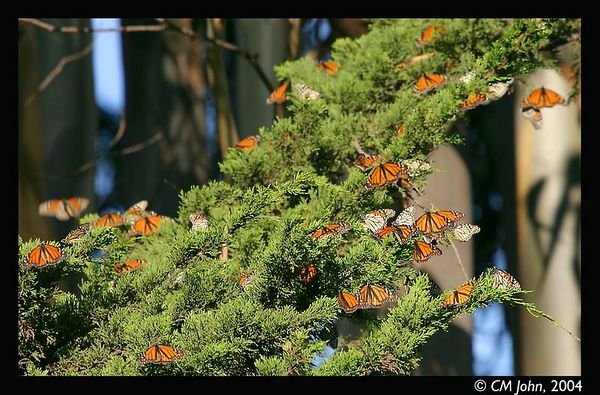 <H2><b>Flock of Monarch butterflies</b></H2> <P ALIGN=LEFT> These monarchs were resting on a branch at the Lighthouse state park, Santa Cruz.<P>