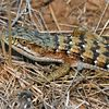 <H2><b>California Alligator Lizard</b></H2> <P ALIGN=LEFT>This California Alligator Lizard (<i>Elgaria multicarinata multicarinata</i>) was photographed in summer at the Wilder Ranch State Park.<P>
