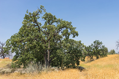 Cluster of California Oak Trees