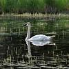 Denali Alaska 308, swan on Horseshoe Lake