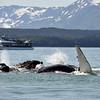 Juneau Alaska 357, whalewatching