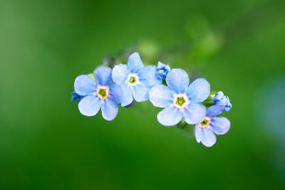 Blue Showy Stickseed