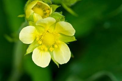 Yellow Cinquefoil