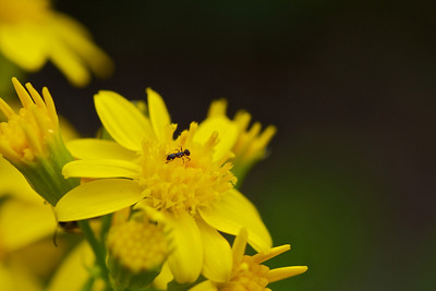 Ant on Yellow Wildflower