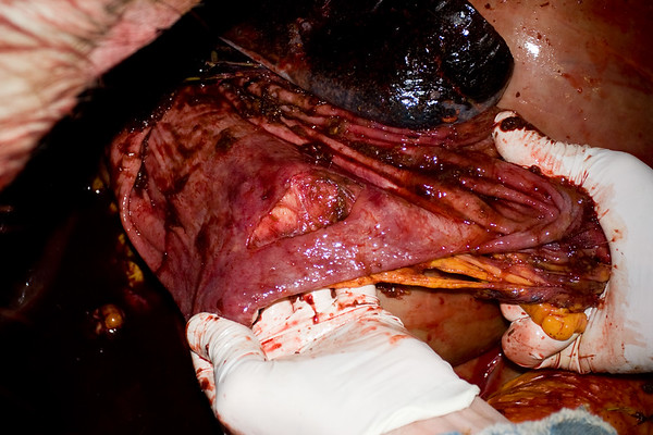 large ulcer in equine stomach