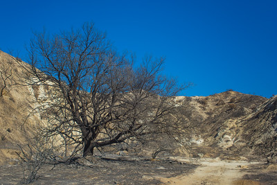 Charred Tree in Canyon