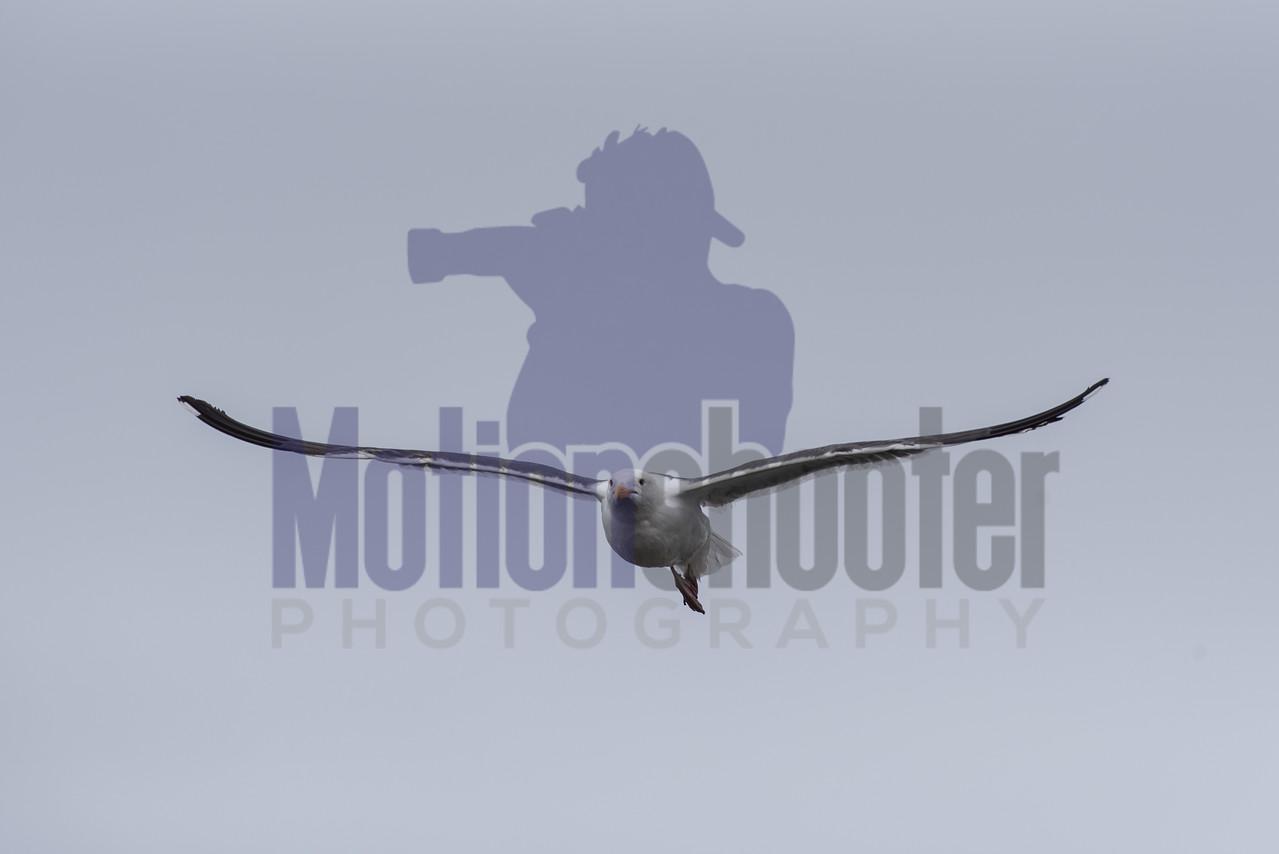 Large wingspan of marine bird.