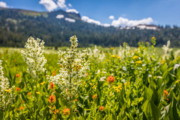 Wildflowers and Castle Peak, Truckee