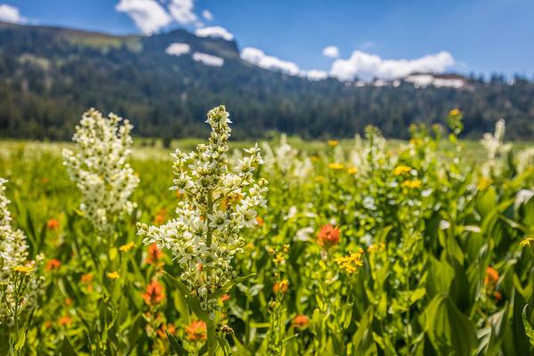 Wildflowers and Castle Peak, Truckee