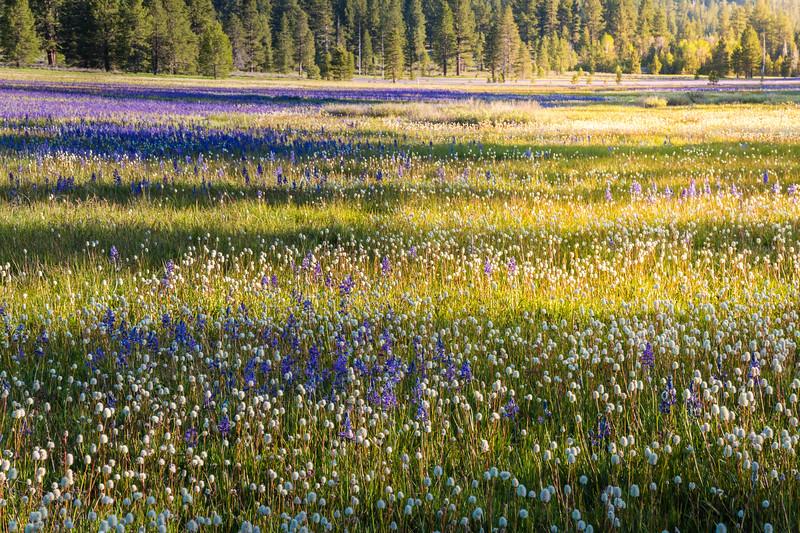 Sagehen Creek wildflowers