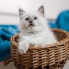 Ragdoll blue point little kitten
