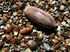 Tybee Island seashells