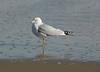 Sea gull in surf