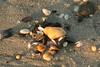Seashells on New Jersey beach
