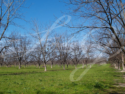 A grove of pecan trees in the winter time with beautiful green grass and blue sky.