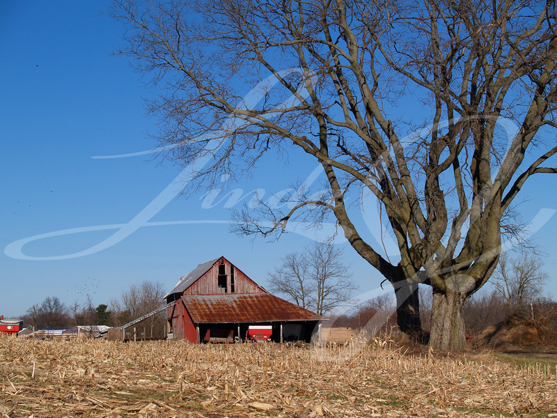 Large leafless maple tree next to an old barn in front of a harvested corn field.