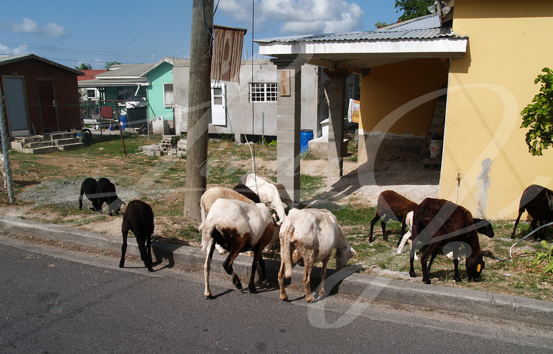 Sheep roaming the neighborhood streets in Antigua Barbuda in the Caribbean Lesser Antilles West Indies.