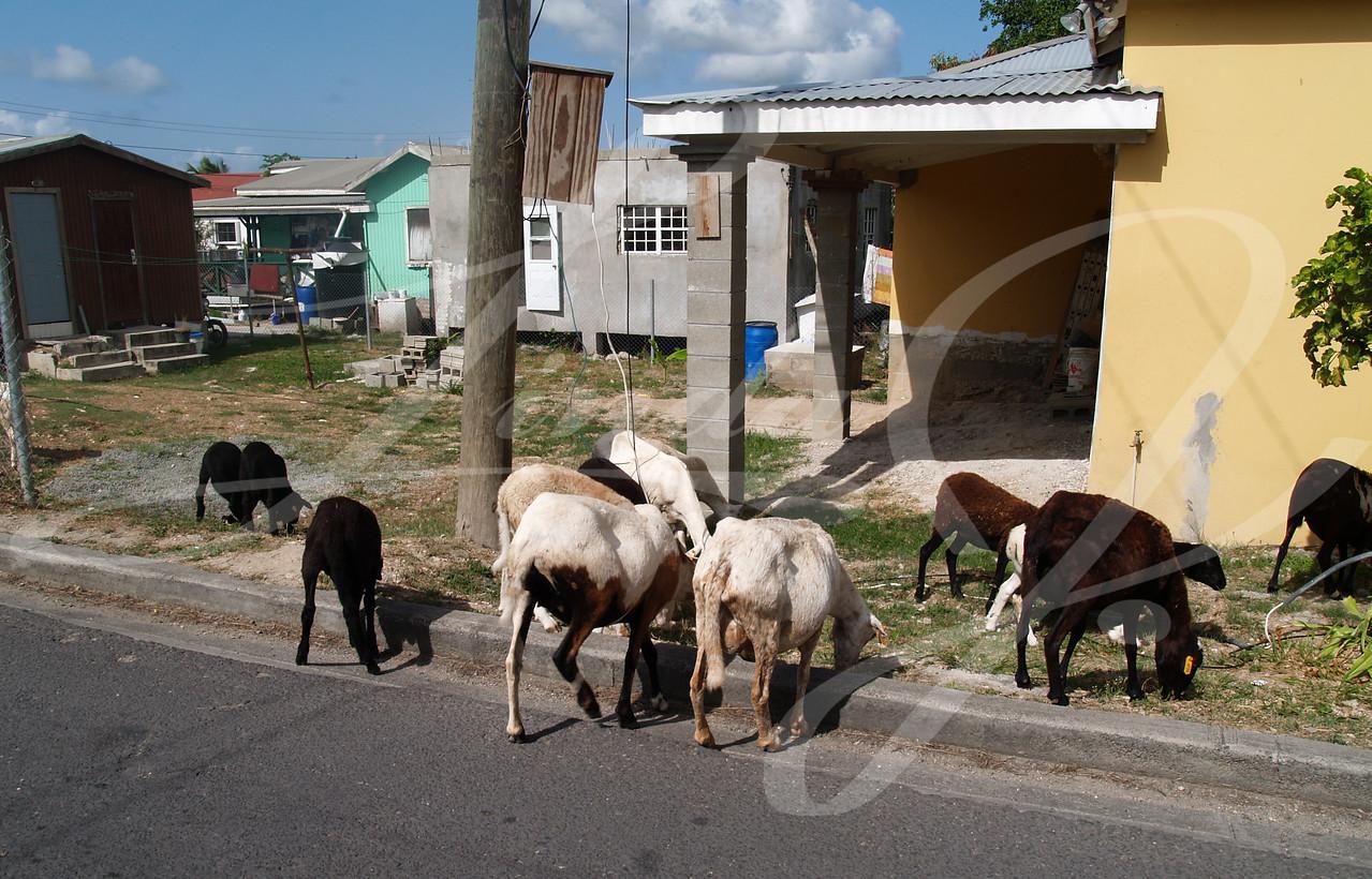 Sheep roaming the neighborhood streets in Antigua Barbuda in the Caribbean Lesser Antilles West Indies.