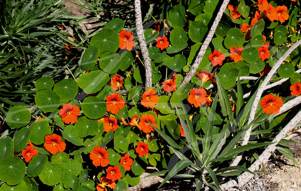 Orange Nasturtium--Orange Nasturtium beside the beach in California.
