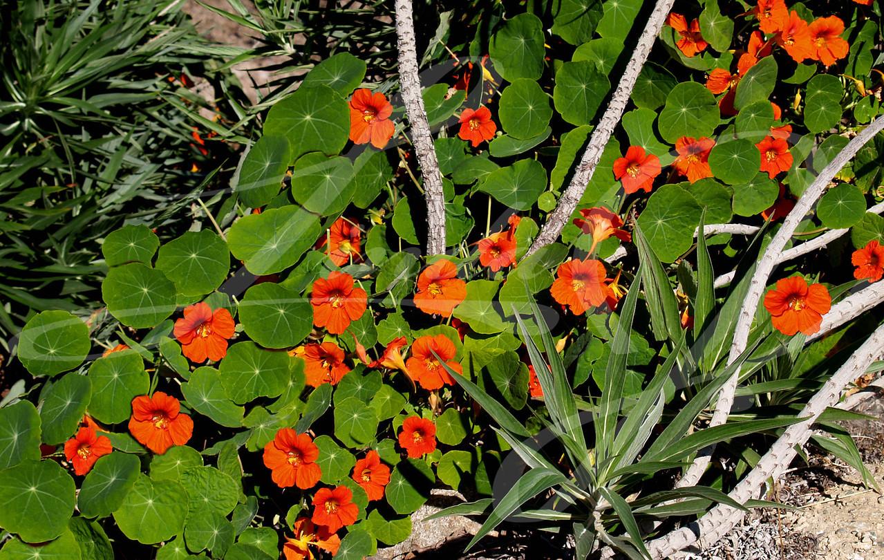 Orange Nasturtium--Orange Nasturtium beside the beach in California.
