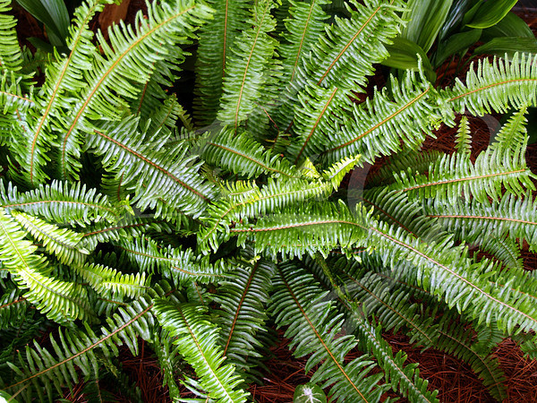 Fern---Fern used as a groundcover in a flowerbed.