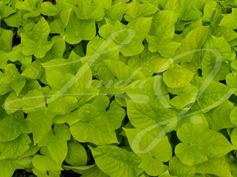 Sweet Potato Vine---Ornamental sweet potato vine used to fill a flower bed.