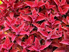 Red Coleus---Red Coleus used as a groundcover to fill a flowerbed.