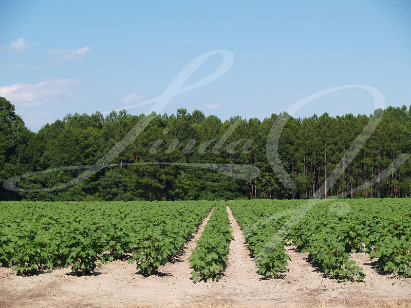 A field of young immature green cotton plants  in south Georgia, USA.