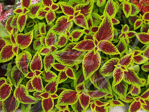 Red and Green Coleus--Close-up of red and green coleus.