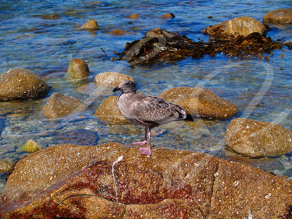Juvenile Western Gull--Juvenile Western Seagull standing on a rock.