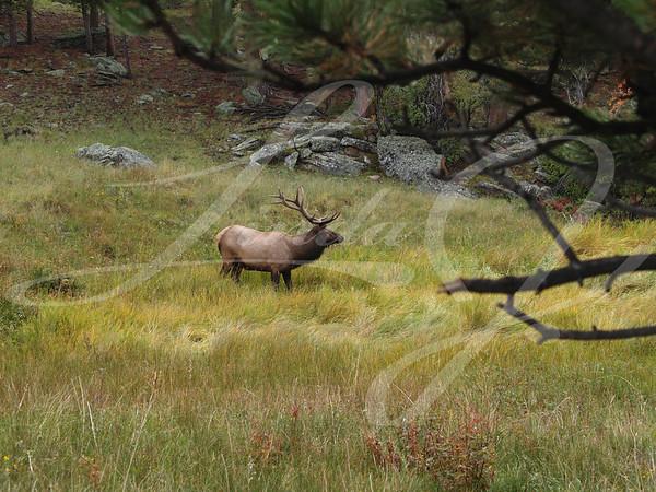 Grazing Elk--Elk grazing in Rocky Mountain National Park.