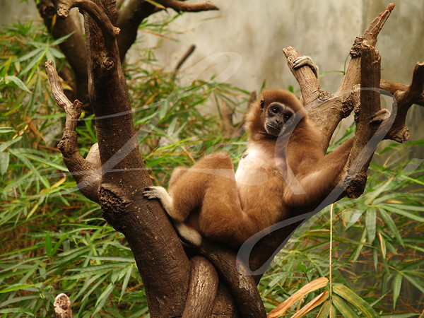 Monkey reclining in the top of a tree taking in the view.