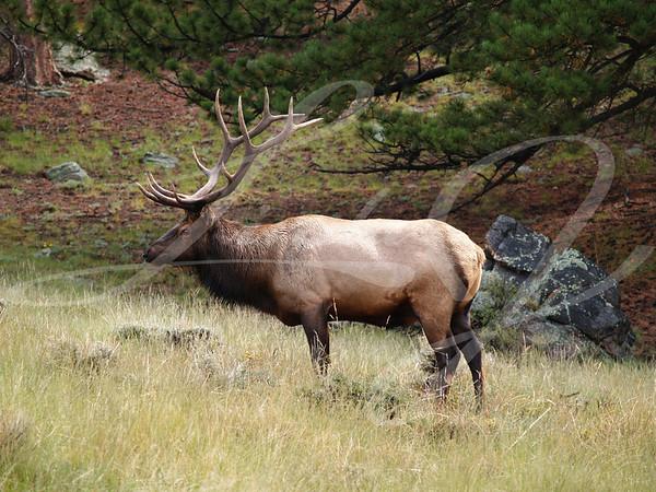 Male Elk--Male bull elk standing in Rocky Mountain Nation Park.
