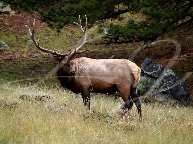 Colorado Elk--Male elk grazes in Rocky Mountain National Park, Colorado
