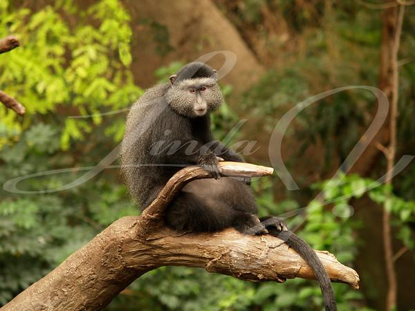 Lone monkey sitting on a limb.