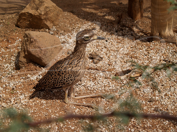 A spotted bush thick-knee or bush stone-curlew sunning in the sand.