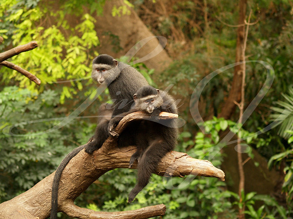 A pair of monkeys sitting side by side perched on a limb.