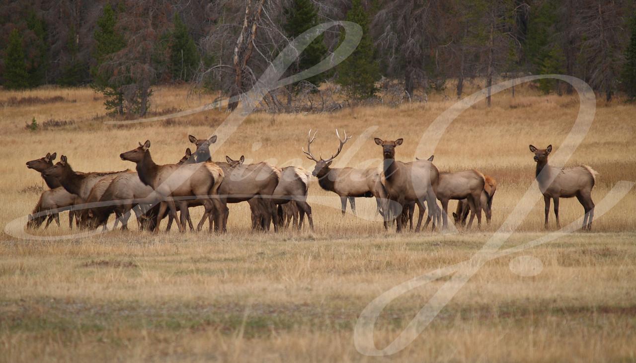 Bull elk and his harem in Colorado