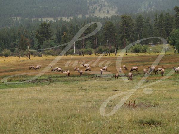 Herd of Grazing Elk--Herd of elk grazing in Rocky Mountain National Park.
