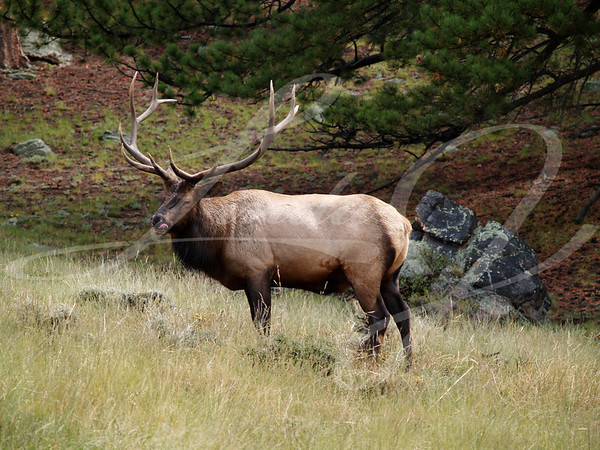 Elk Licking Lips--Male elk licking lips in Rocky Mountain National Park, Colorado