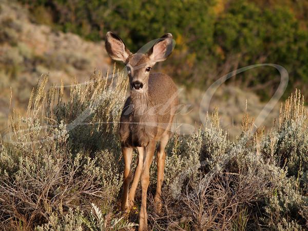 Mule Deer Fawn--Wild mule deer fawn in Colorado