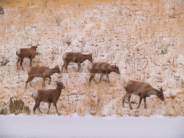 Wild goats grazing in the snow in Wyoming.