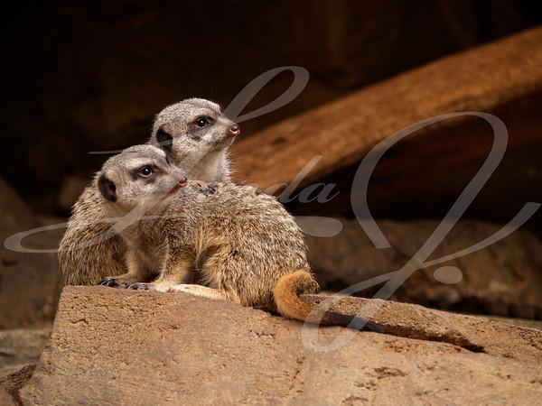 Two very alert Meerkats guarding the den.