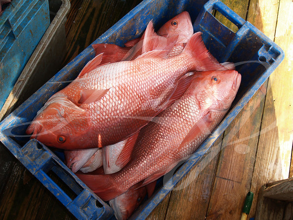 A days catch of large red snapper in a blue crate sitting on a dock which was caught in the Florida Gulf.