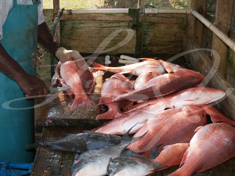 A days catch of large red snapper and trigger fish being cleaned, which was caught in the Florida Gulf.
