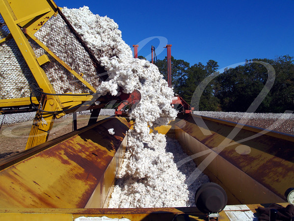 A load of cotton being dumped from a boll buggy.