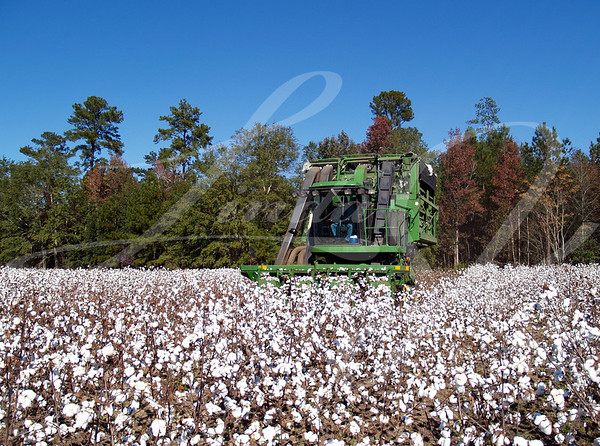 A cotton picker following the rows and picking cotton.